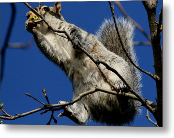 Squirrel 5 Up The Tree Metal Print