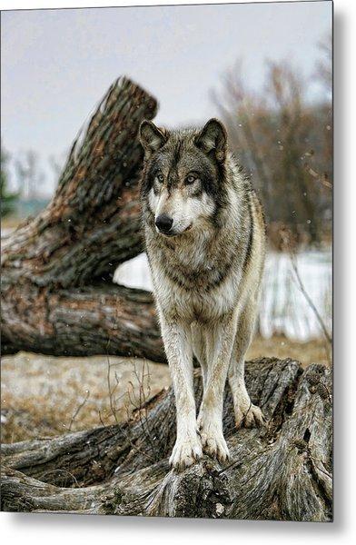 Still Wolf Metal Print
