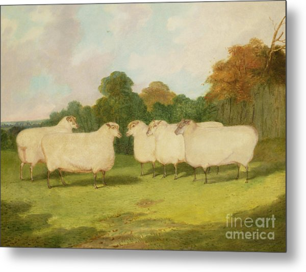 Study Of Sheep In A Landscape   Metal Print