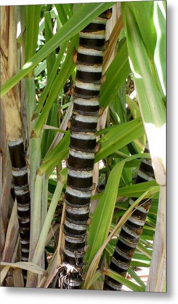 Sugar Cane Metal Print by Annie Babineau