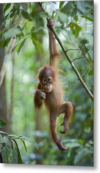 Sumatran Orangutan Pongo Abelii One Metal Print