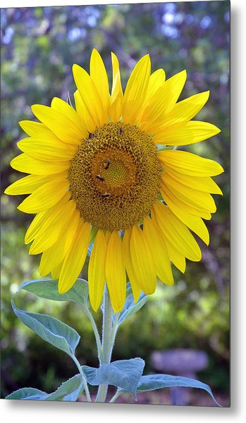 Sunflower 1 Metal Print by Mickie Boothroyd