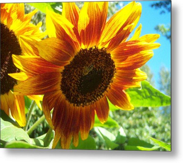 Sunflower 104 Metal Print by Ken Day