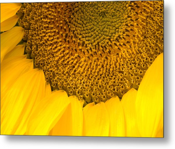 Sunflower Metal Print by Charlie Hunt