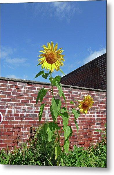 Sunflower Under Blue Skies Metal Print by Margie Avellino