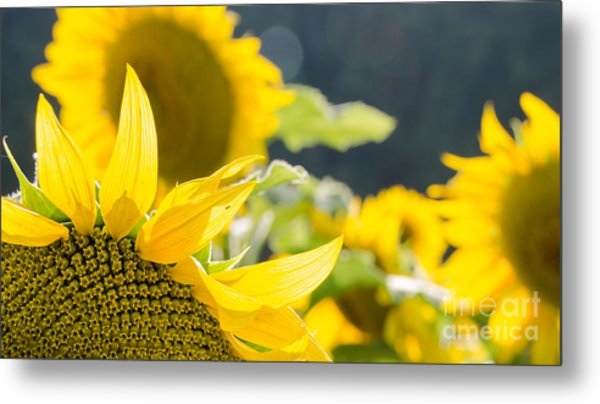Sunflowers 14 Metal Print
