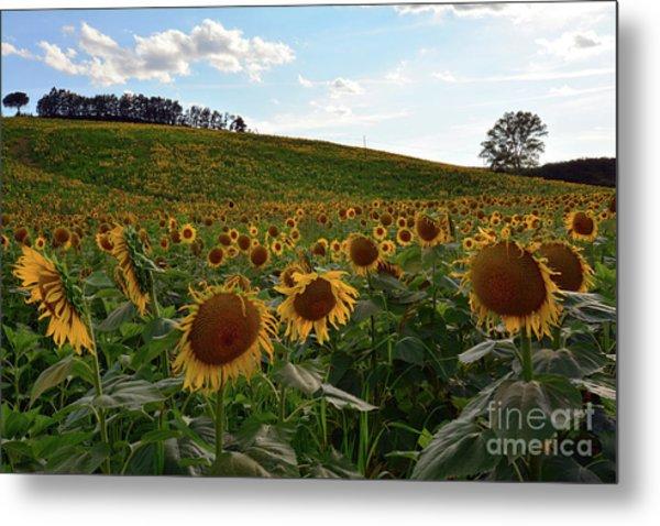 Sunflowers Fields  Metal Print