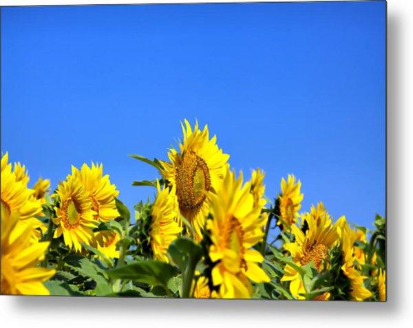 Sunflowers Metal Print by Gary Smith
