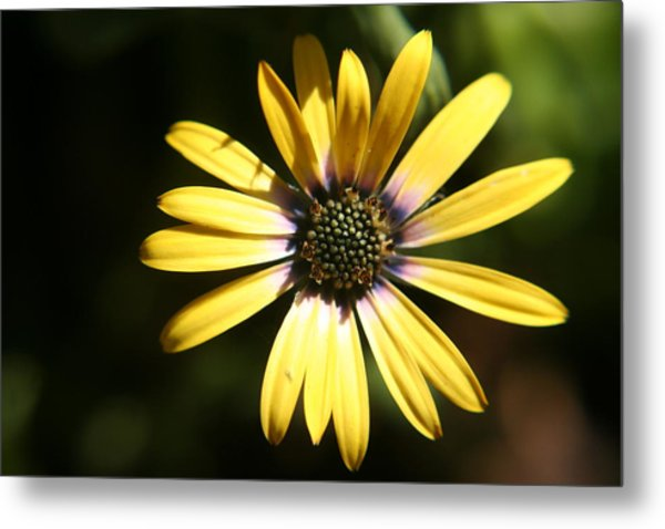 Sunshine Metal Print by Amy Holmes