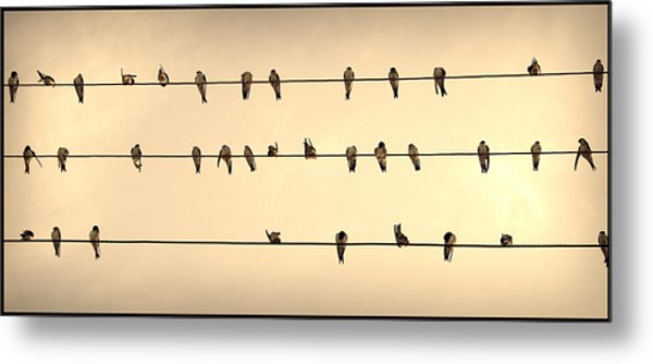 Swallows On Wires Metal Print
