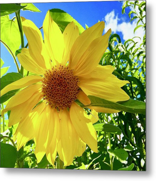 Tangled Sunflower Metal Print