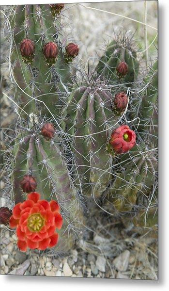 Terlingua Desert Blooms Metal Print by Clyde Replogle
