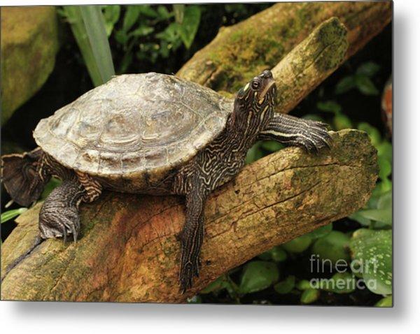 Tess The Map Turtle #3 Metal Print