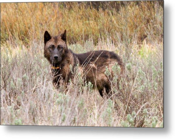 Teton Wolf Metal Print