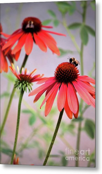 The Coneflower Collection Metal Print
