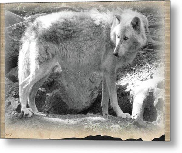 The Gray Wolf Metal Print by Debra     Vatalaro