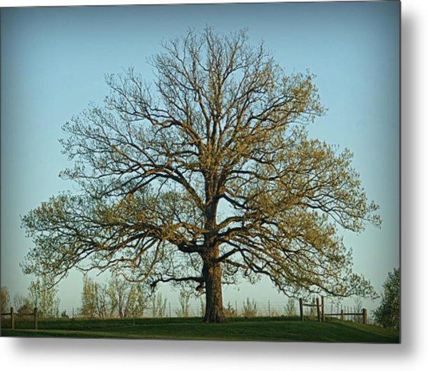 The Mighty Oak In Spring Metal Print