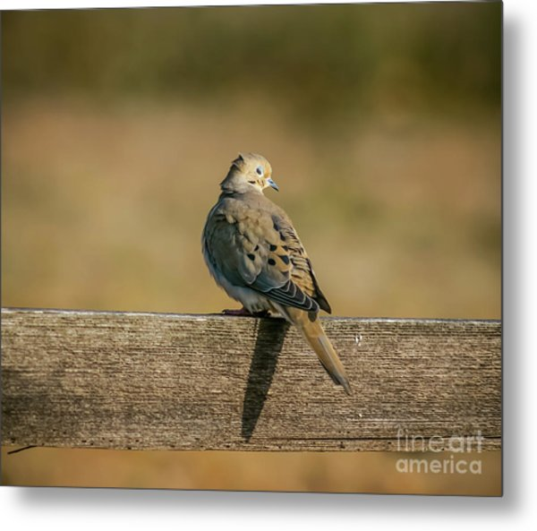 The Morning Dove Metal Print