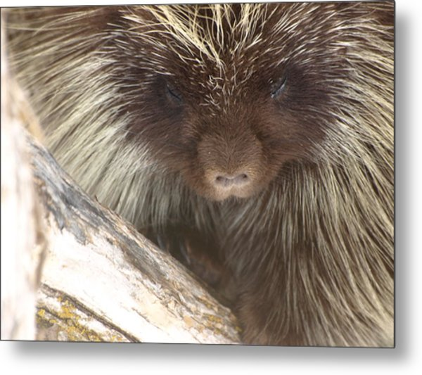 The Tender Side Of Porcupine Metal Print