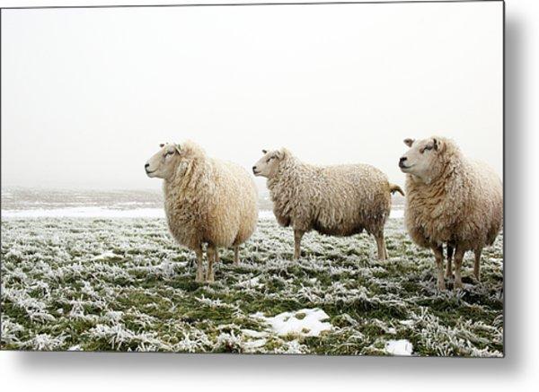 Three Sheep In Winter Metal Print