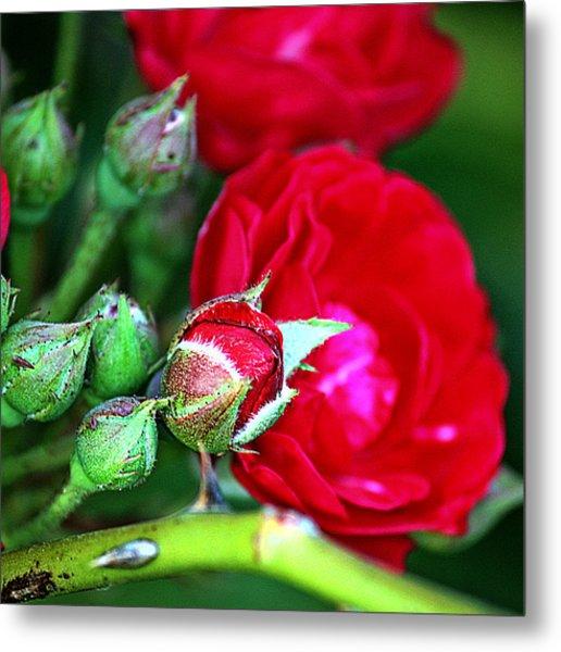 Tiny Red Rosebuds Metal Print