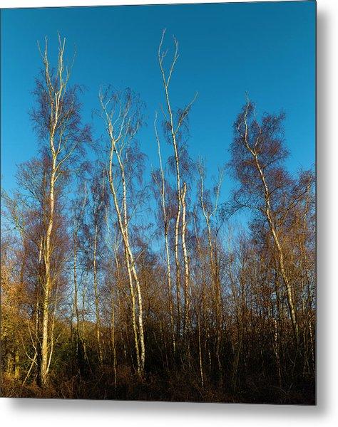Trees And Blue Sky Metal Print
