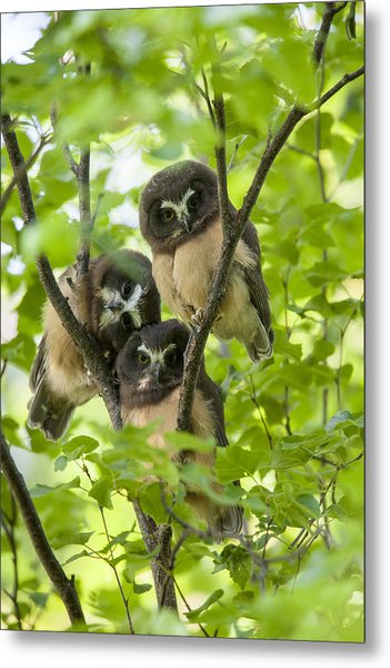 Triple Cute Saw-whet Owls Metal Print