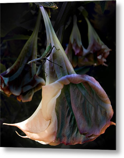 Trumpet Flower Metal Print by Rob Outwater