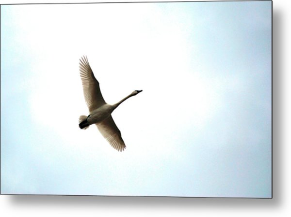 Trumpeter Swan In Flight Metal Print
