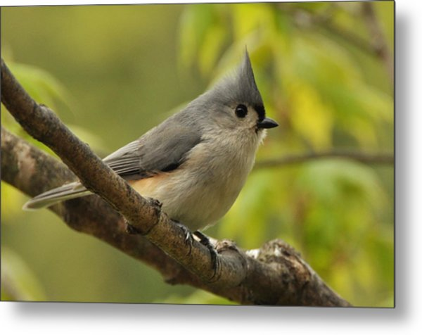 Tufted Titmouse In Sugar Maple Metal Print