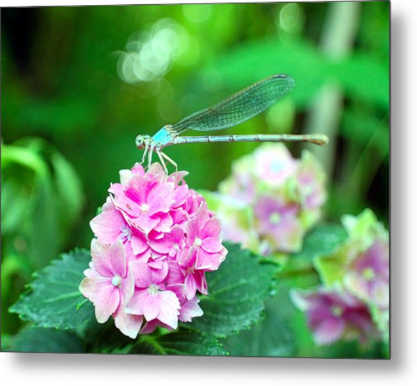 Turquiose Dragonfly  And Hydrangea Metal Print by Heather S Huston