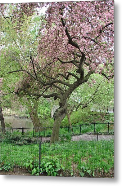 Twisted Cherry Tree In Central Park Metal Print