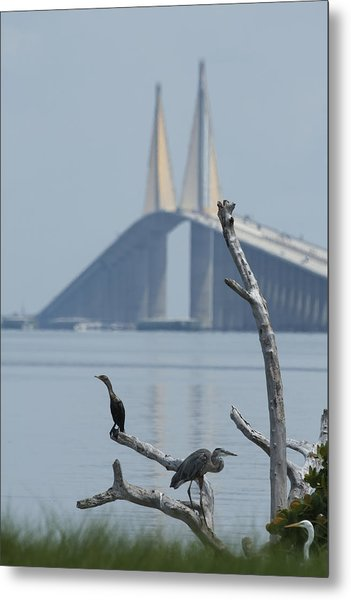 Water Birds On Tampa Bay Metal Print by Carl Purcell