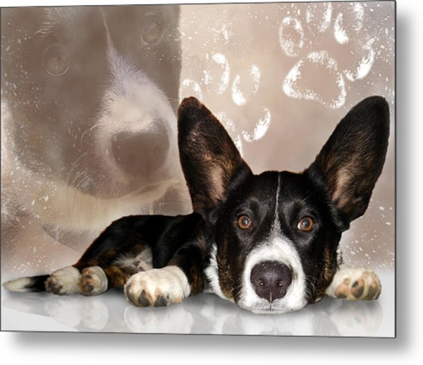 Welsh Corgi Cardigan Metal Print