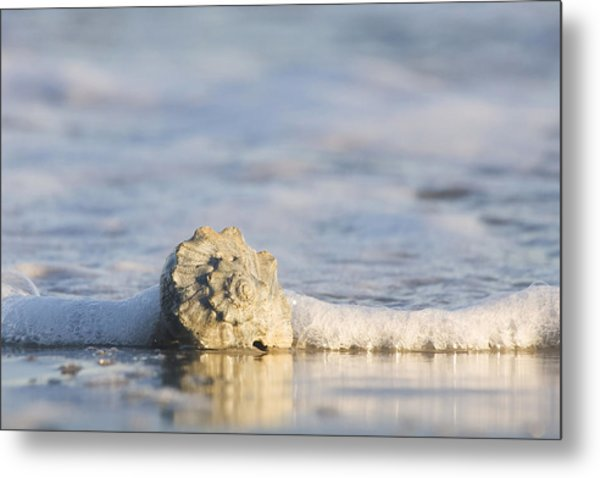 Whelk In Surf Two Metal Print