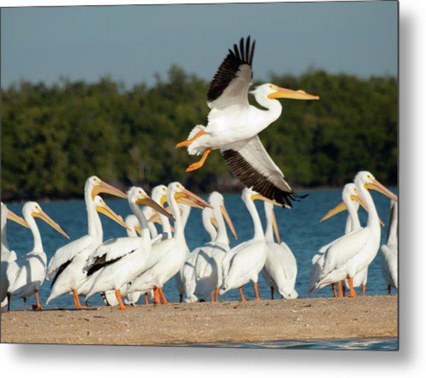 White Pelican In Flight Metal Print by Diane Luke