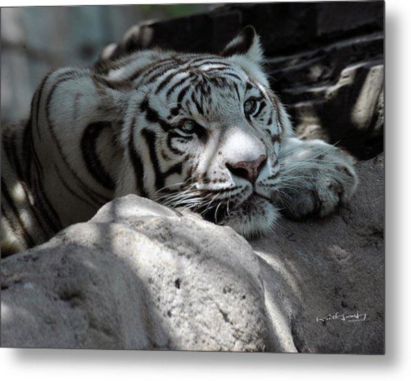 White Tiger Contiplation Metal Print