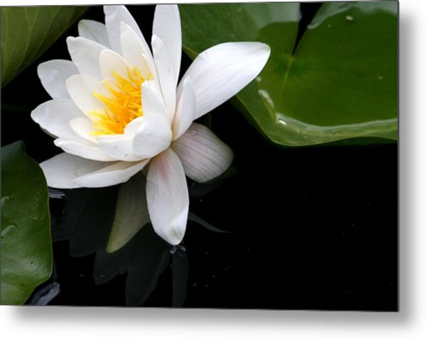 White Water Lilly Metal Print