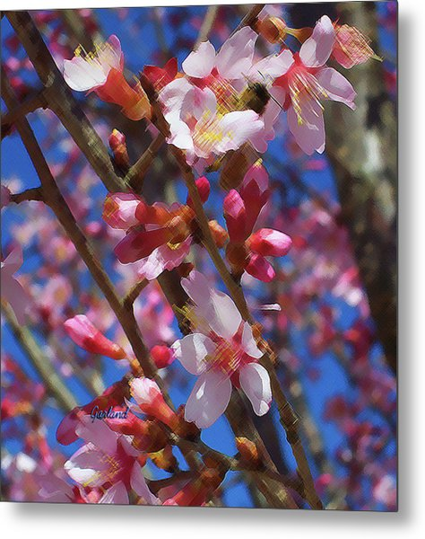 Wild Cherry Tree In Bloom Metal Print by Garland Johnson