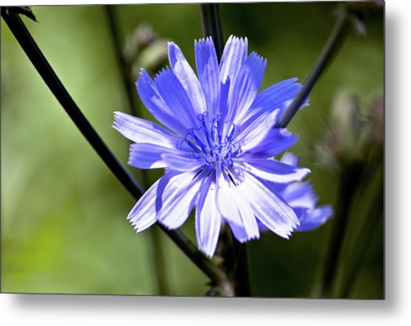 Wild Chicory Metal Print by Ross Powell