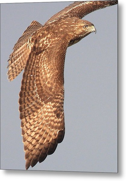 Wings Of A Red Tailed Hawk Metal Print