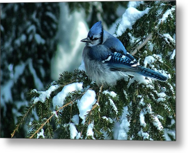 Winter Blue Jay Metal Print by Andrew Oliver