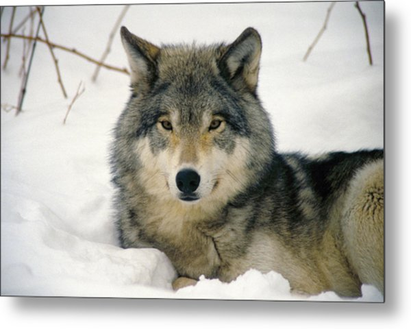 Wolf Rests In Snow Metal Print