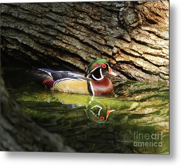 Wood Duck In Wood Metal Print