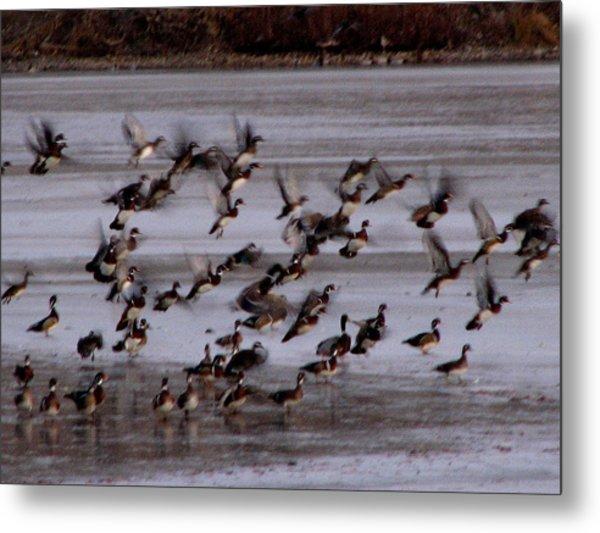 Wood Ducks Metal Print by Athena Ellis