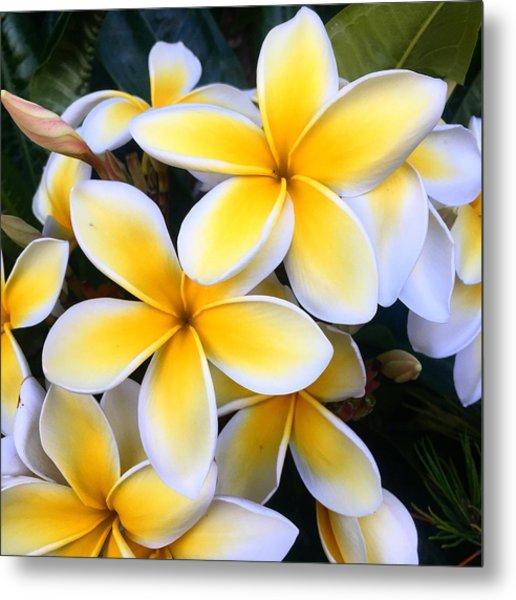Yellow And White Plumeria Metal Print