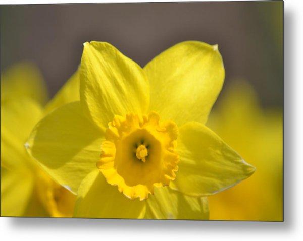 Yellow Daffodil Flower Metal Print