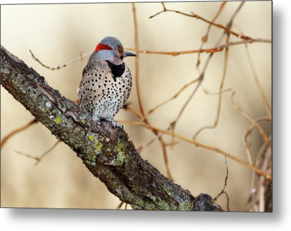 Yellow-shafted Northern Flicker Metal Print