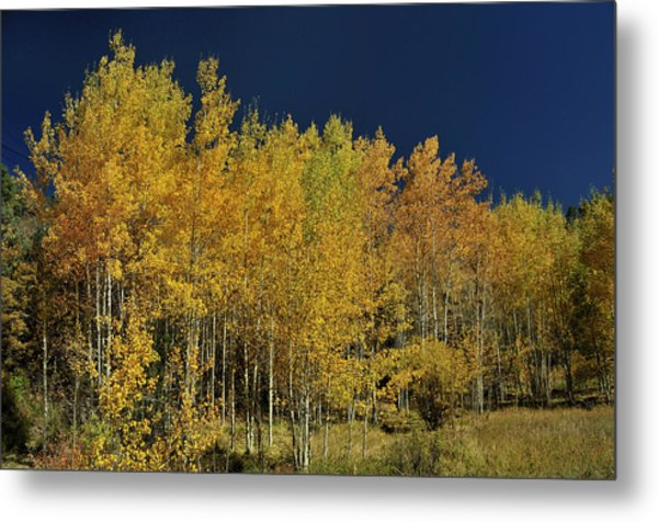 Young Aspen Family Metal Print