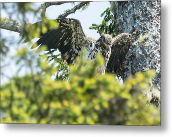 Young Bald Eagle Metal Print
